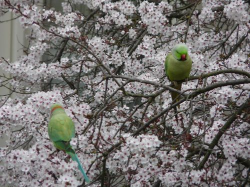 Faye Blake Spring parakeets