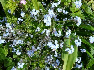 embercombe-forget-me-nots