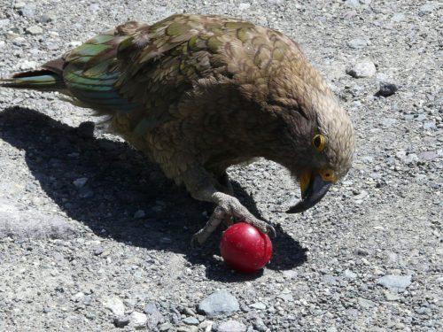NZ Kea