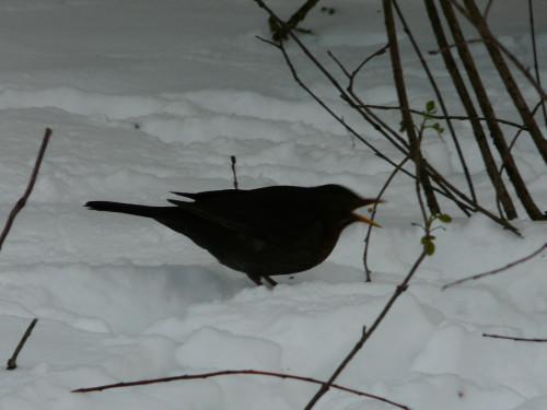 blackbird Aquarius